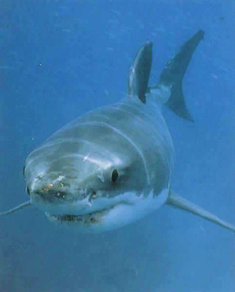 La r union pol mique apr s une nouvelle attaque de - Dessiner un requin blanc ...