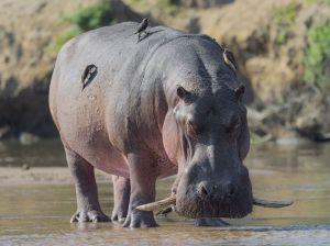 Hippopotame Congo